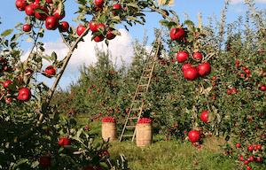 りんごファイトケミカル