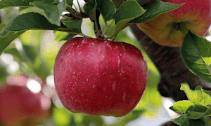 りんご成分表