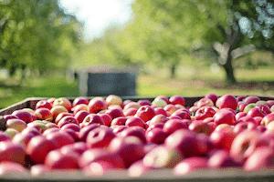 りんご食物繊維
